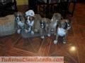 Cachorros Boxers con padres a la vista